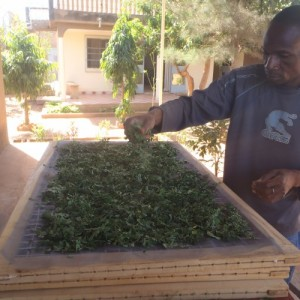 18-moringa-burkina-photo-2