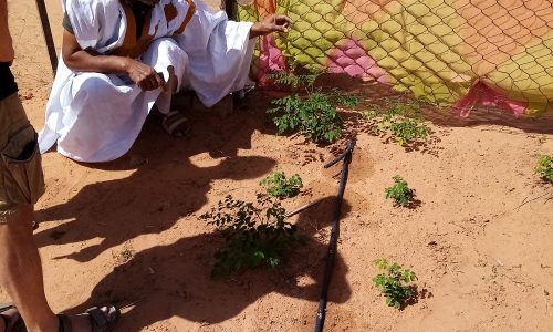 20-moringa-mauritanie-culture-photo-3